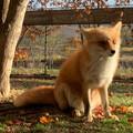 foxlog