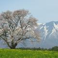 みゅうは桜の精になりたい