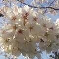 Cherry Blossom♪