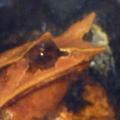三角木葉蛙