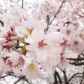 春の桜吹雪