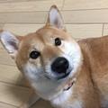 シバ犬マメ太郎