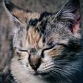 ブチゃらてぃ猫